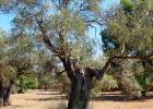 several hundred years of olive tree...